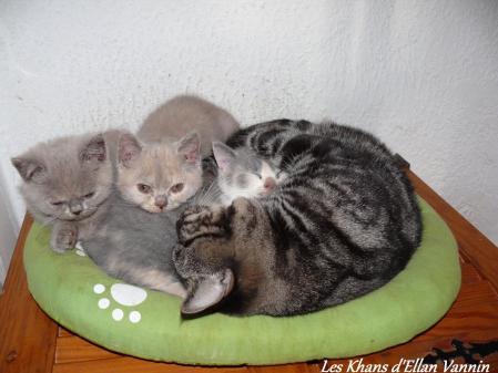 Cézanne Manx et les chatons