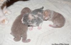 Chatons british shorthair 2