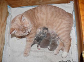 Idromel et ses chatons british shorthair