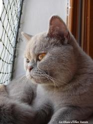 Lamia Khan d'Ellan Vannin British Shorthair lilas tortie