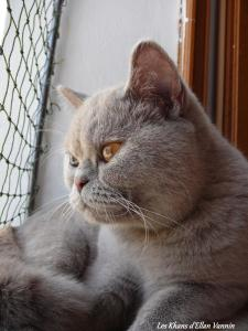 Lamia British Shorthair