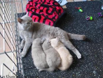 Lamia et ses chatons British