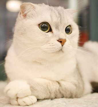 Les differente robes Scottish Fold chinchilla
