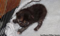 Ocarina Manx rumpy noire tortie